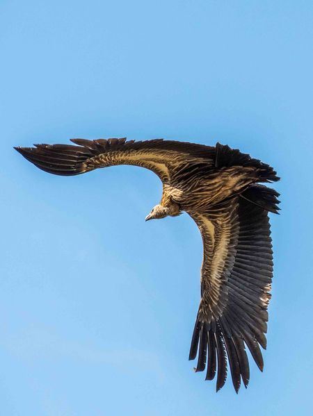 White-backed vulture Photo by Sagar Thakur -- National Geographic Your Shot