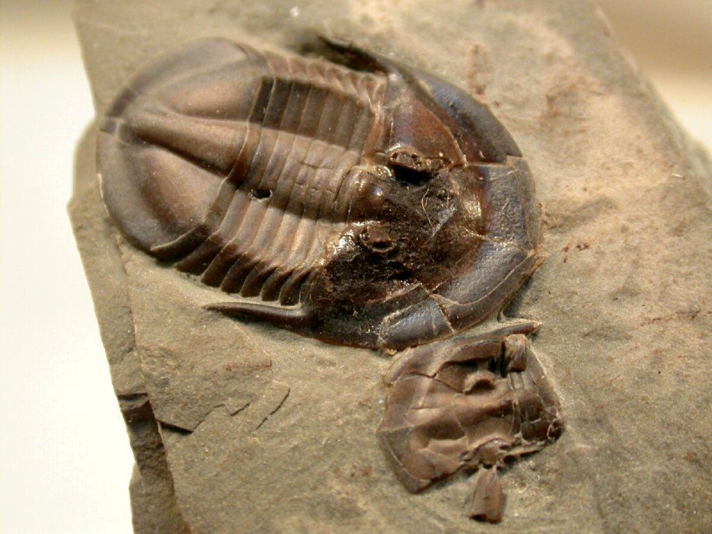 Lachnostoma latucelsum Trilobite, Fossils, Superfamily