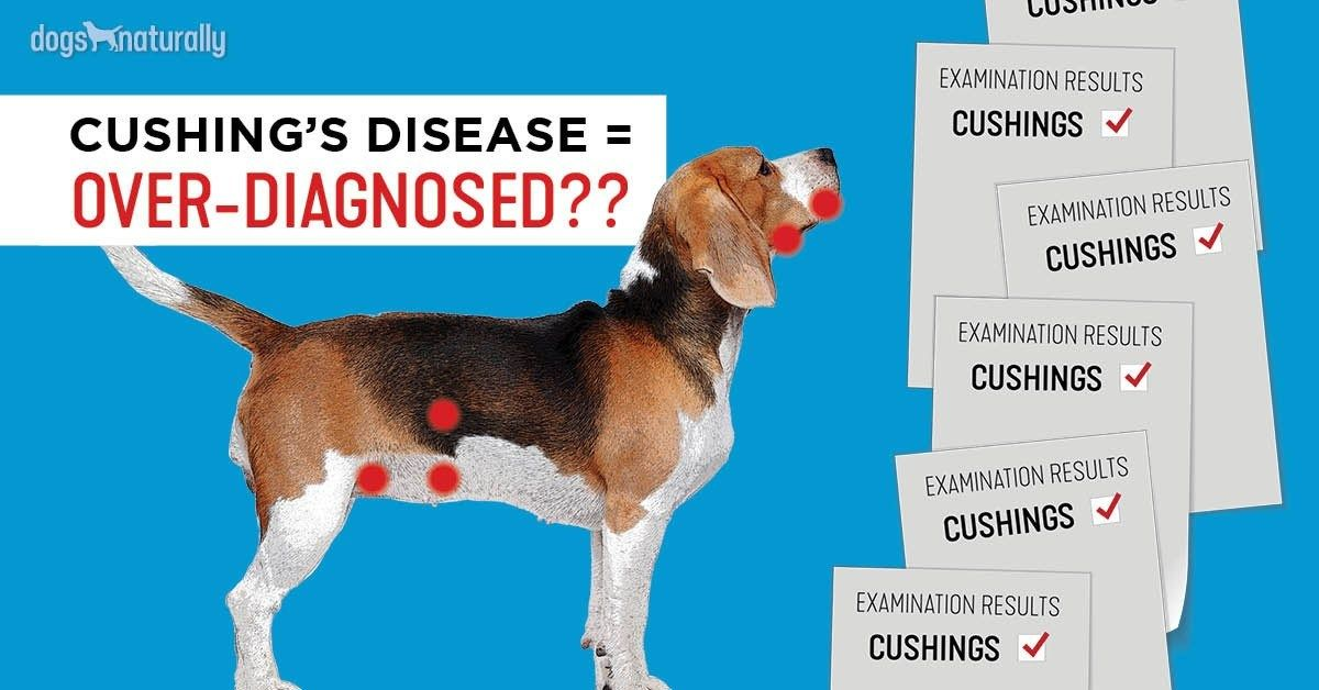 Why Cushing S Is Over Diagnosed In Dogs Dogs Naturally Cushings Cushing Disease Dogs