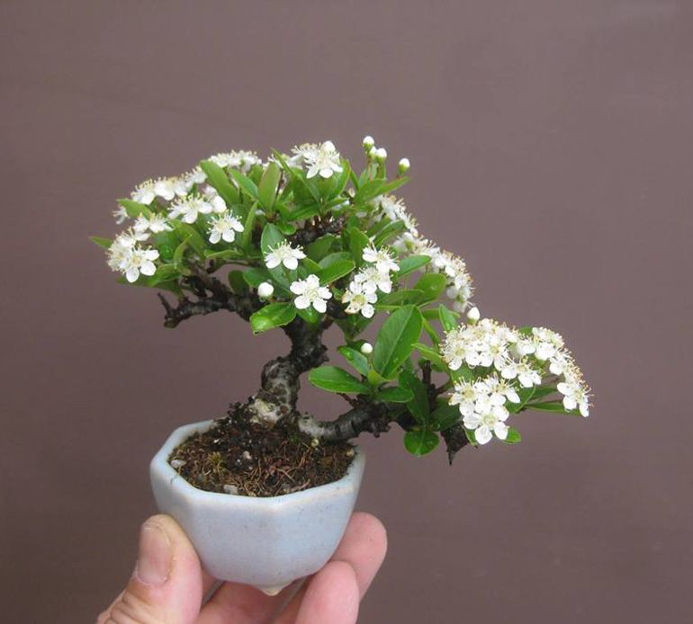 Pin by sharon uyehara on bonsai pinterest bonsai gardens and mini bonsai mame bonsaibonsai treessmall white mightylinksfo