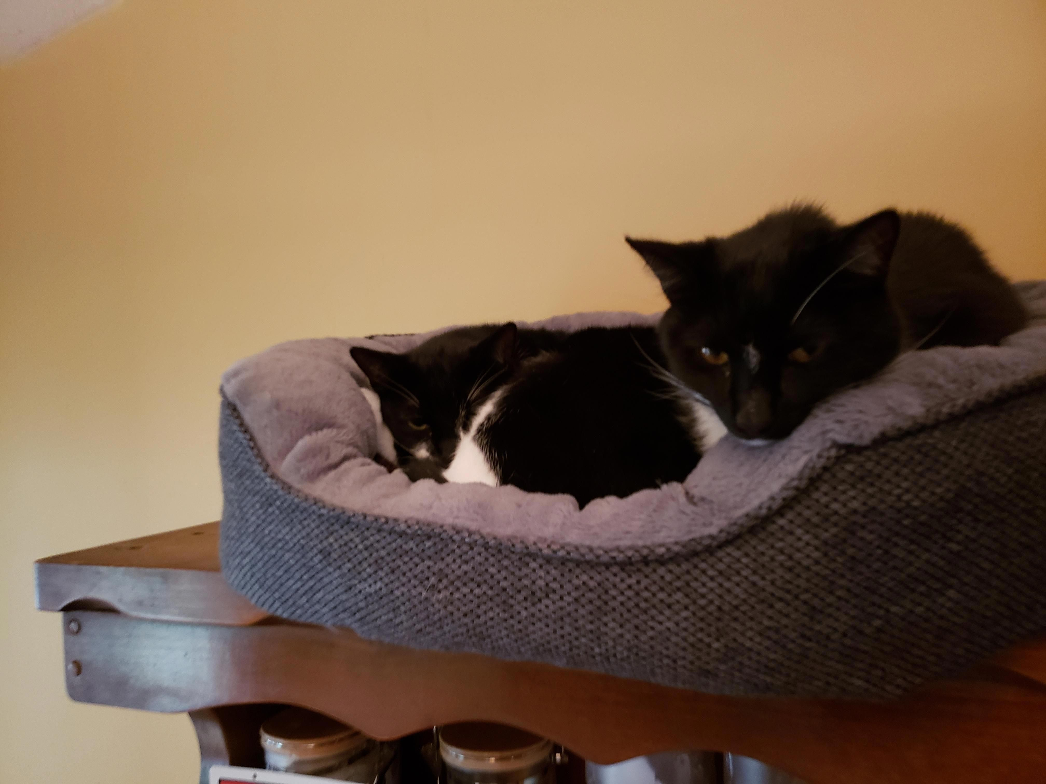 For Sale Munchkin Cats CatsInTheCradleMeaning ID