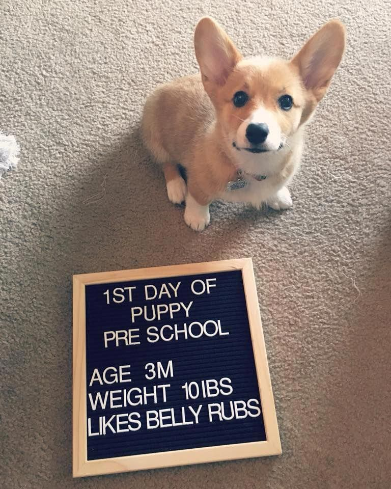 Back To School With Corgi Puppy Puppyschool Corgi Cute
