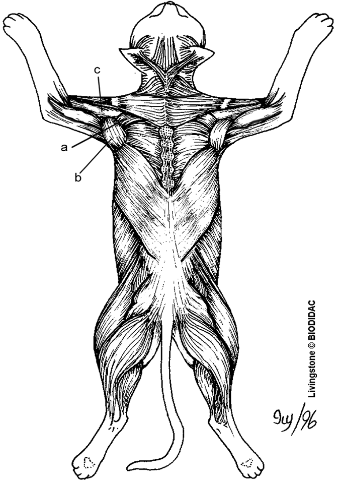 Cat Muscles Of The Back Color Animal Cat In 2019 Cat Anatomy