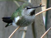 This Anna S Hummingbird Was Caught In Spokane Wa Over The Winter Click Through To Learn About Her Experiences Hummingbird Humming Bird Feeders Backyard Birds