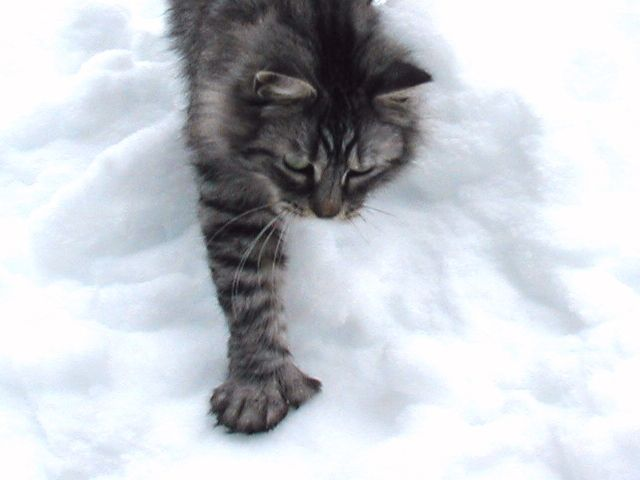 Pin On Maine Coons Cat Showing Info