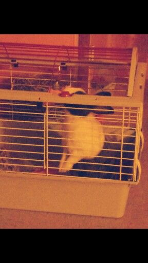My bunny playing with his new chew toy I got him. Lol <3
