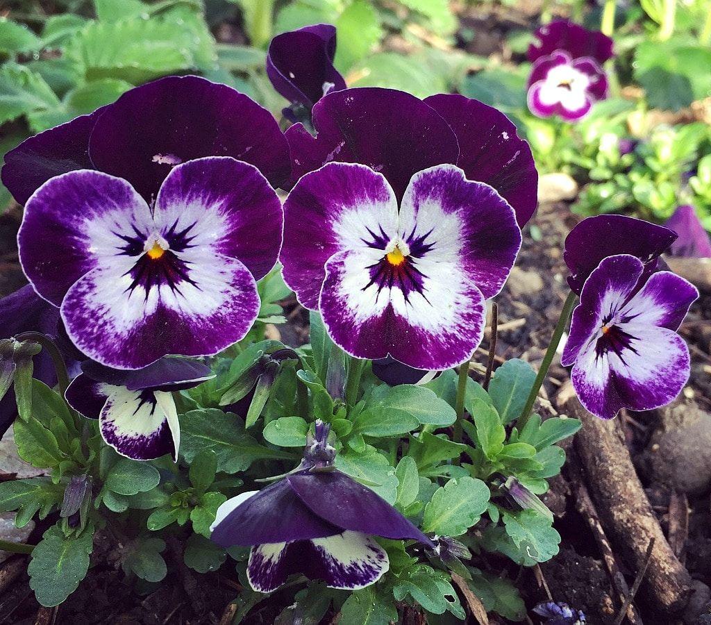 How To Grow And Use Violas Sweet Viola Bath Soak Recipe Recipe Flower Fertilizer Viola Flower Violas