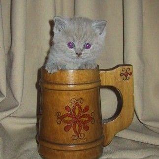 British Shorthair Lilac Kitten Scottish Fold Kittens British Shorthair Cat Scottish Fold