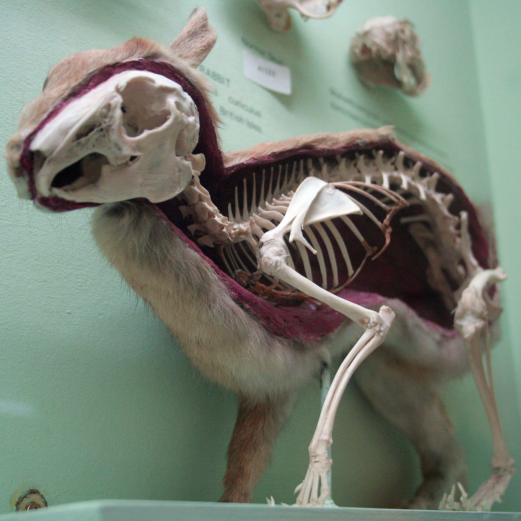 Rabbit - Wikipedia, the free encyclopedia | Skullatons | Pinterest ...
