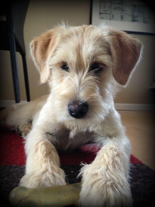 Wheaton Terrier Mix Puppy Schnauzer Mix Puppies Cute Dogs