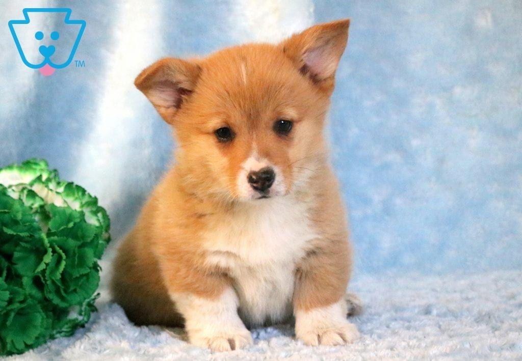 Arby Pembroke Welsh Corgi Puppy For Sale Keystone Puppies