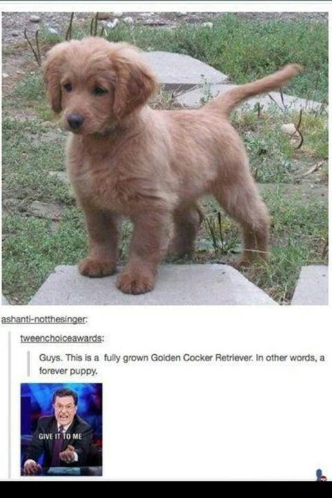 This Is A Forever Puppy Picture Forever Puppy Golden Cocker