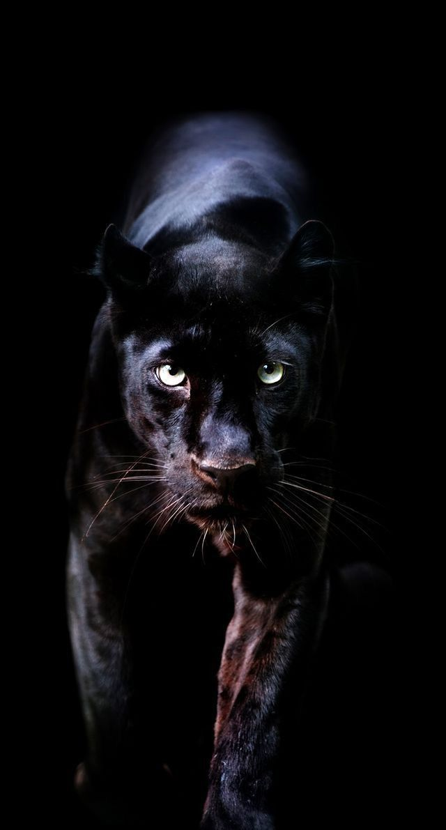 Black Panther Animal Wallpaper Unique Animals Wallpaper Iphone Of Black Panther Animal Wallpa In 2020 Wild Animal Wallpaper Leopard Wallpaper Jaguar Animal