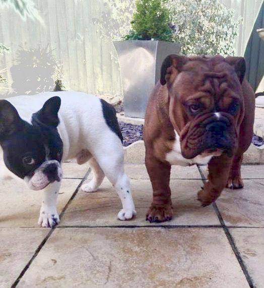 French and english bulldogs are best buds peggy sue the pug french and english bulldogs are best buds thecheapjerseys Gallery