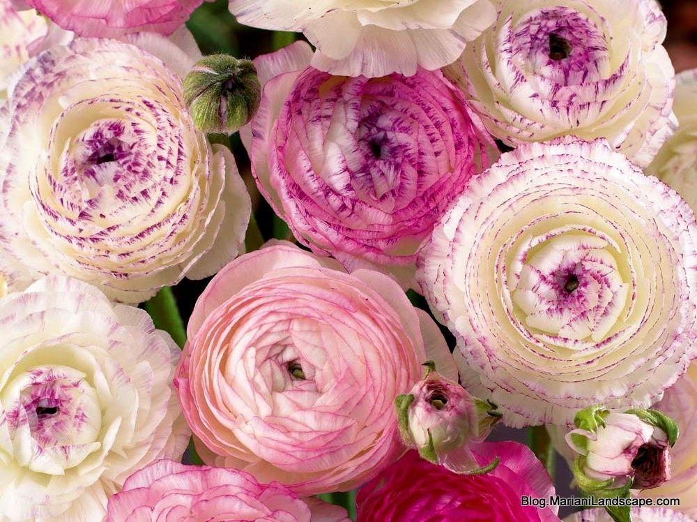 Persian Buttercup Pink Picotee Ranunculus Flowers Flowers Pink Wedding Flowers