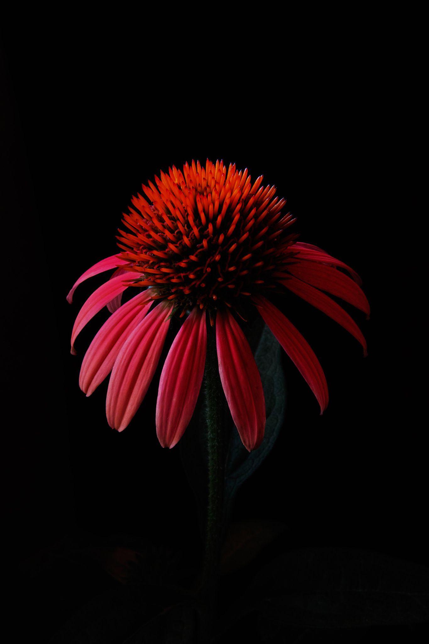 by nakatugawa shizuka on 500px | Flowers black background, Flowers ...