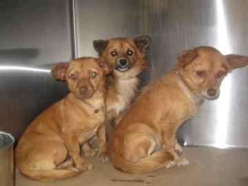 Long And Short Haired Chihuahua Mixes Available For Adoption At