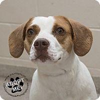 Adopt A Pet Sydney Troy Oh Beagle Adoption Pets