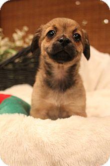 Bedminster Nj Corgi Dachshund Mix Meet Mink A Puppy For Adoption Http Www Adoptapet Com Pet 12279468 Bedminste Corgi Dachshund Puppy Adoption Corgi Mix