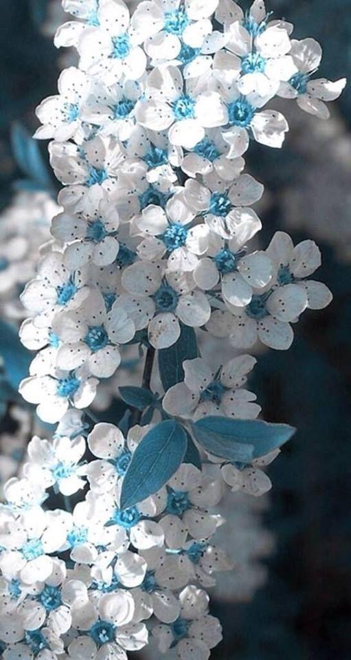 Top 35 schönsten weißen Blüten mit Bildern   - Flowers - #Bildern #Blüten #flowers #mit #schönsten #Top #weißen #blueflowerwallpaper