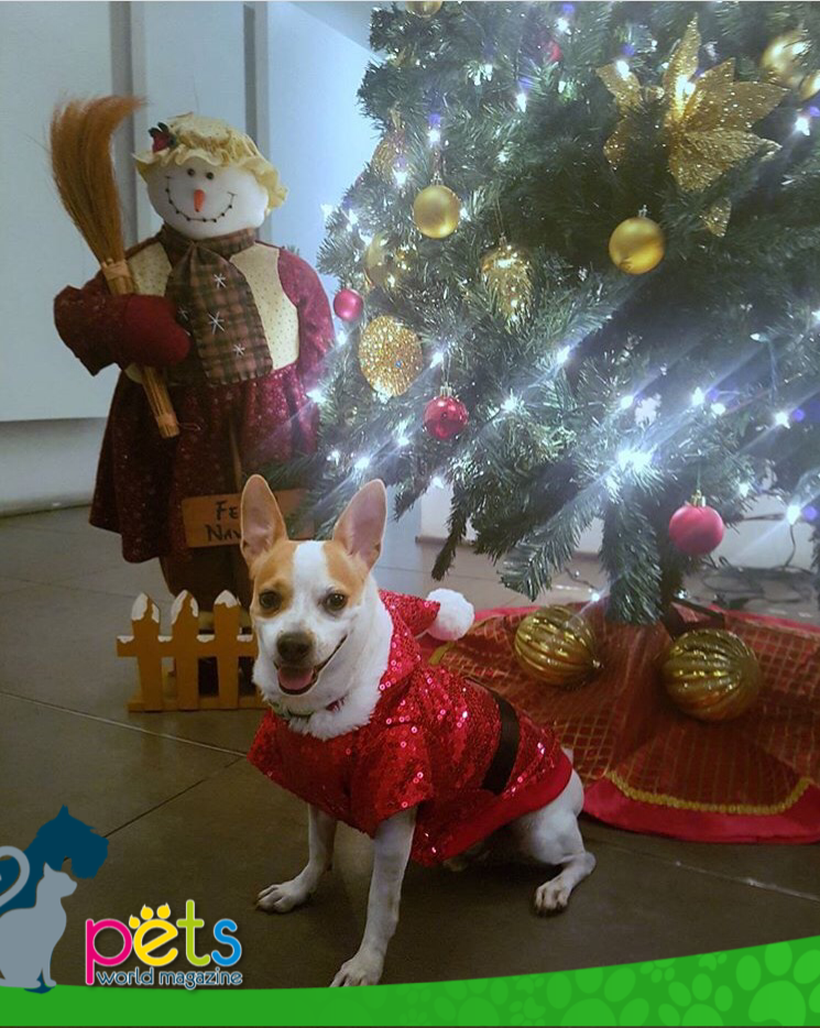 Listos para Navidad 🎁🎄    #PetsWorldMagazine #RevistaDeMascotas #Panama #Mascotas #MascotasPanama #MascotasPty #PetsMagazine #MascotasAdorables #Perros #PerrosPty #PerrosPanama #Pets #PetsLovers #Dogs #DogLovers #DogOfTheDay #PicOfTheDay #Cute #SuperTiernos #FelizNavidad #MerryChristmas