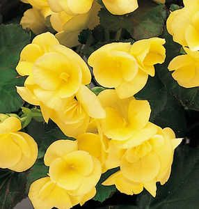 Begonias Pictures With Names Begonias Begonia Yellow Anne Tm Begonia Trees To Plant Perennial Flowering Plants