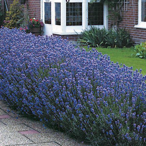 Lavandula munstead lavande et jardins - Quand planter la lavande ...