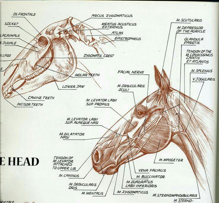 Anatomía de la cabeza | Un poco d Anatomía Equina | Pinterest ...