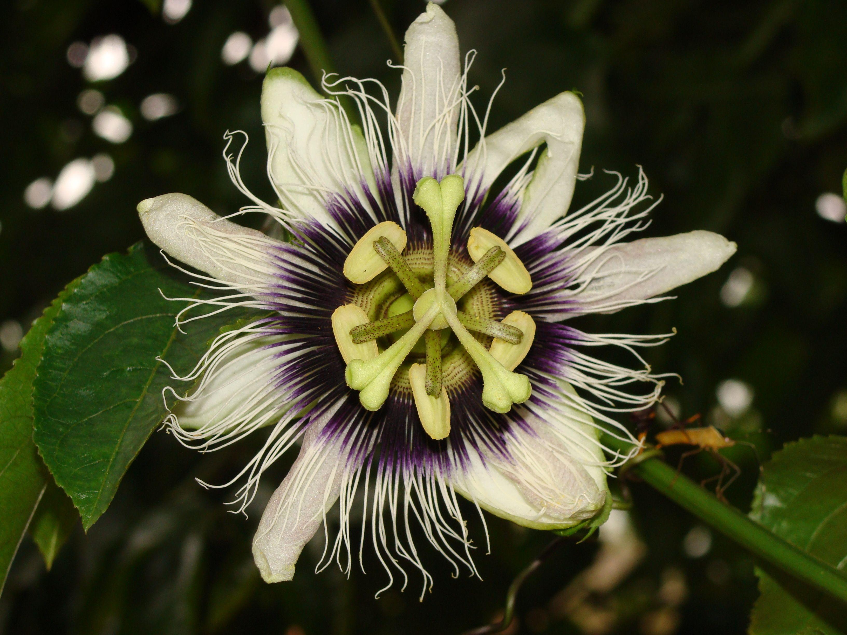 Flor de Maracujá Azedo.