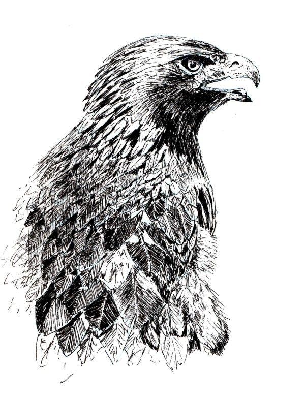картинка рисунок беркута