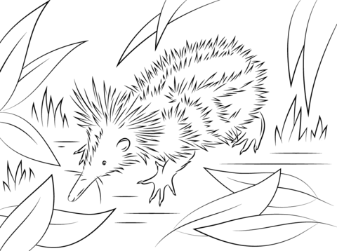 Tenrec Dibujo para colorear | animales | Pinterest | Colorear ...