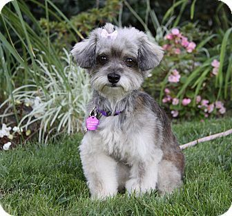 Newport Beach, CA - Yorkie, Yorkshire Terrier/Poodle (Toy ...
