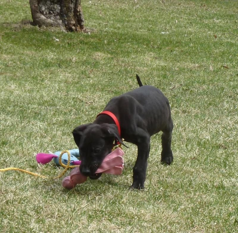 Adopt Gibbs on Black great dane puppy, Great dane rescue