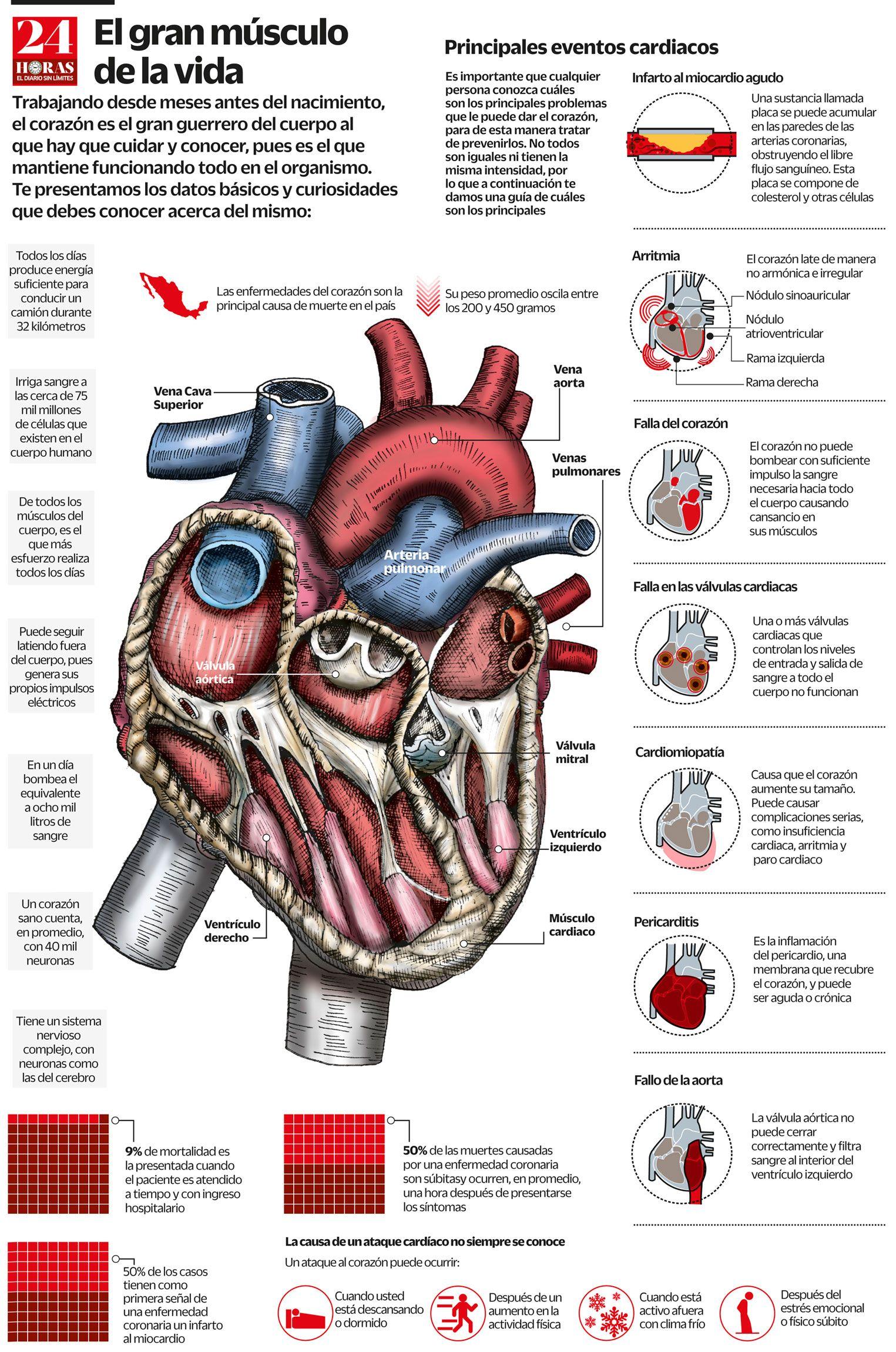 El gran músculo de la vida. #corazón #ciencia #salud #infografia ...