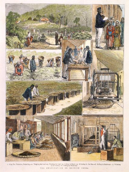 TEA CULTIVATION IN BRITISH INDIA. Eight scenes on one ...