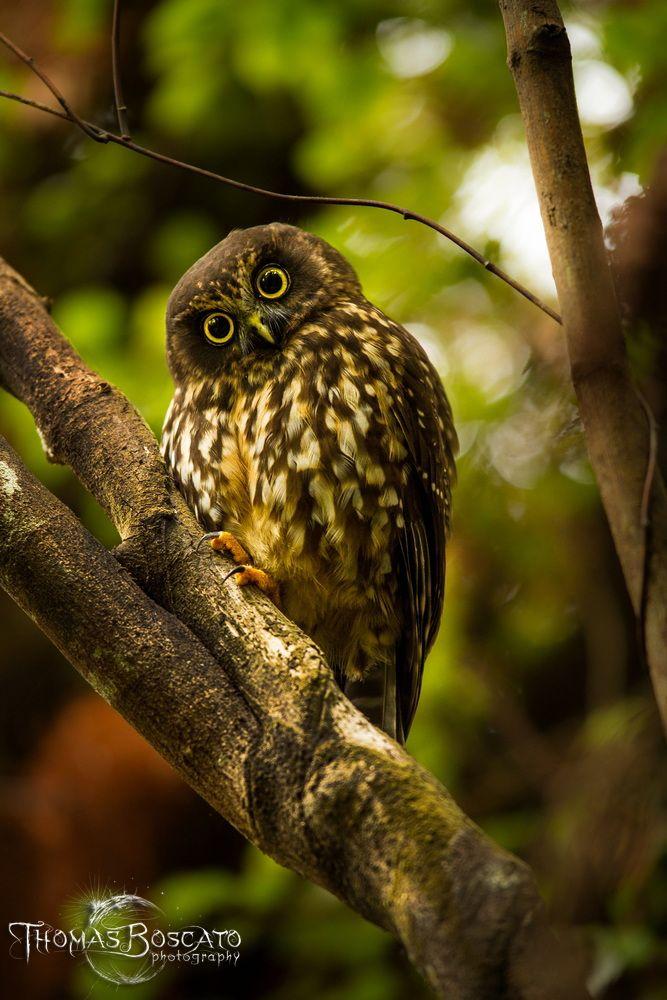 This New Zealand owl (Ninox novaeseelandiae) is named