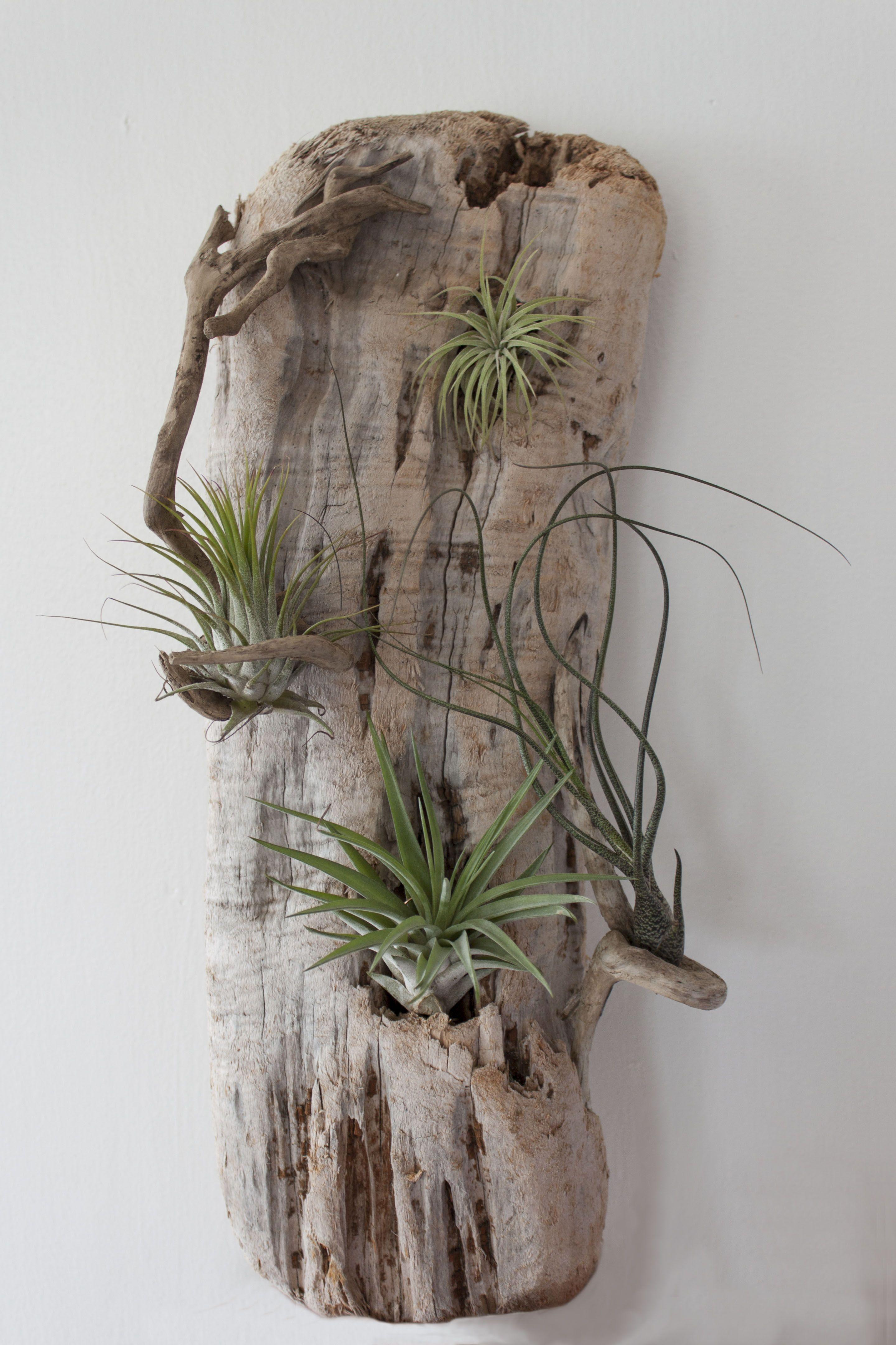 Drift wood and tillandsia sculpture by Gwynessa Balvanz