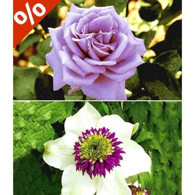 Set Clematis u0027Florida Sieboldiiu0027 \ Rose u0027Mamy Blue®u0027, 2 Pflanzen