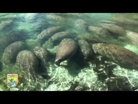 "Crystal River Refuge's ""Manatee Manners"" for Boaters --manatee migration november-march"