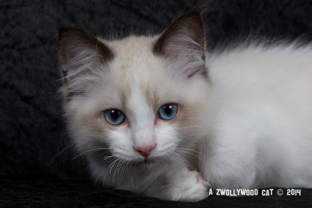 2014: Fillmore A Zwollywood Cat. 12 Weeks old Ragdoll kitten, seal bicolour. Cars litter.