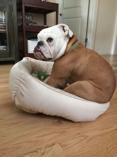 cloverthebulldog: no bed can contain this bedonkadonk. | happiness