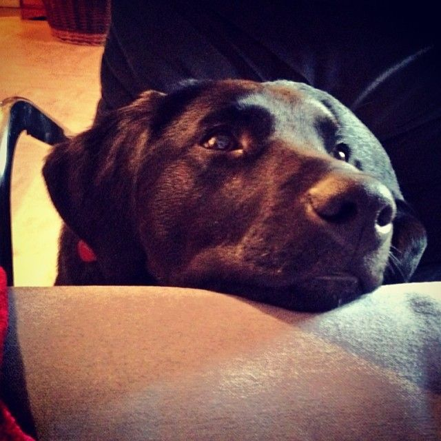 No thank you, I'd rather stay in. #stayingin #dog #pet #labrador #puppy #cute #sweet #adorable #beg #opinion #nose #ears #play #instapet ##r...