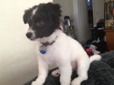 maltese rat terrier mix maltese rat terrier mix mixed breed dogs pups 7345