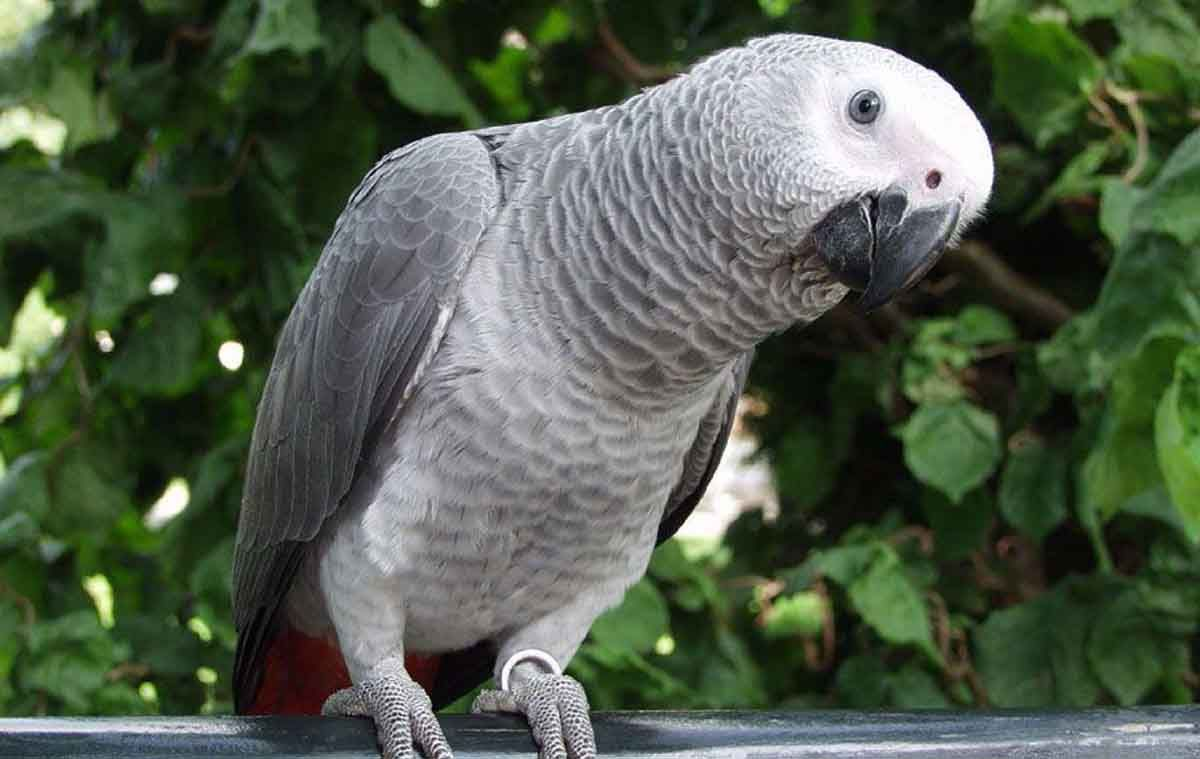 Congo African Grey Parrot Also Known As Congo Parrots