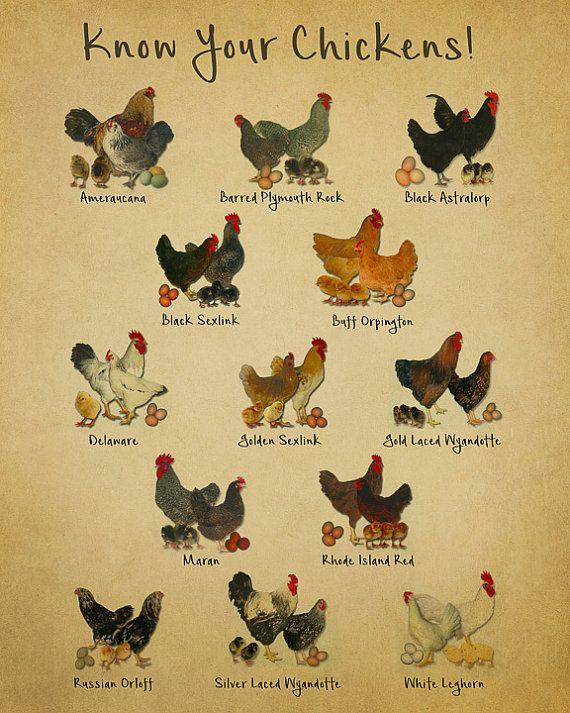 chicken breed chart: Chicken breeds chart print vintage poultry print chicken