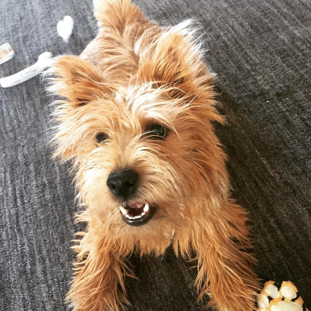 Pin By Jennifer Schonauer On Cairn Norwich Terrier Mix Norwich