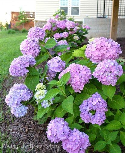 Garden Talk 6 Sun Loving Plants Sun Loving Plants Flowering Bushes Hydrangea Landscaping