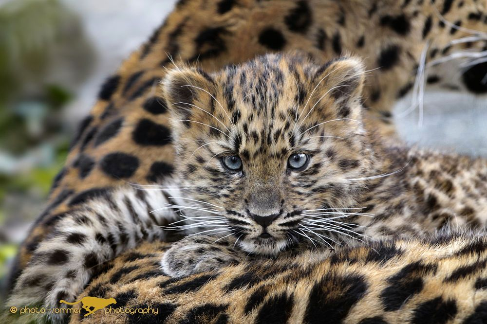 young Amur Leopard by photo-sommer on 500px