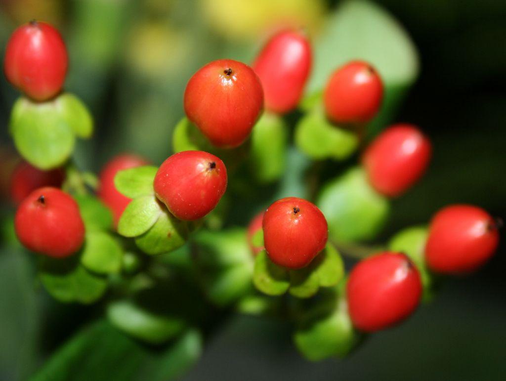 Hypericum Berries.   by Misty Jane