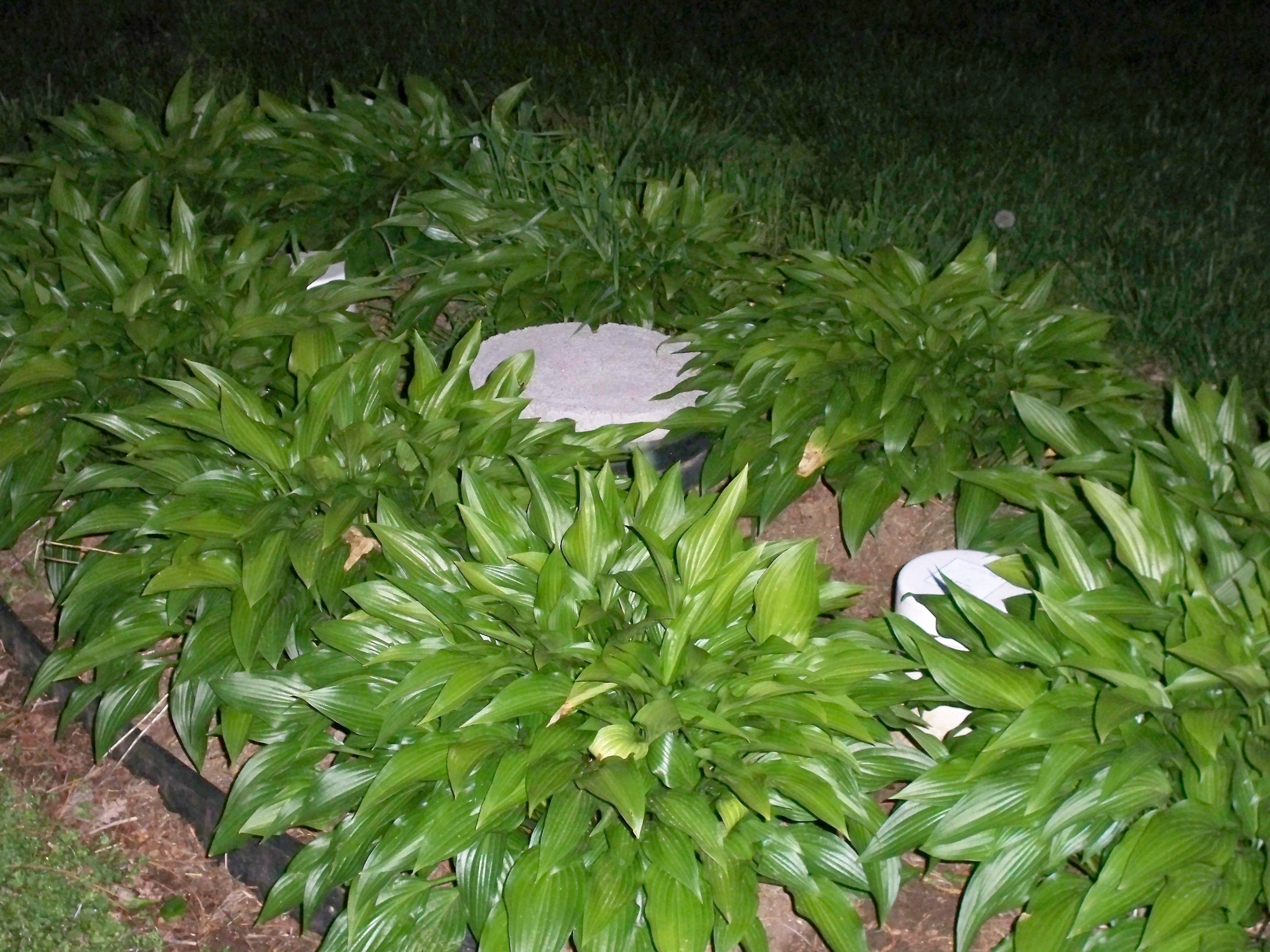 Pretty Hostas Cover A Septic System Out My Back Door At